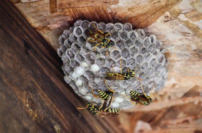 Wasps are common in Louisville, KY when it comes to dealing with home pest control needs.