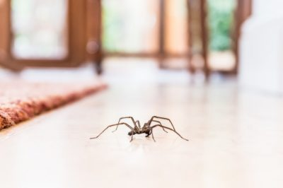 Knowing how to identify spiders in Kentucky can keep you and your family safe.
