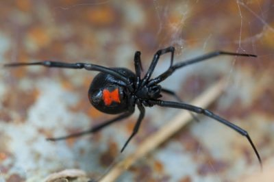 One of the poisonous spiders in Kentucky is the Black Widow.