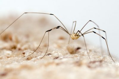 The Daddy Long Leg is one of the common spiders found in Kentucky.