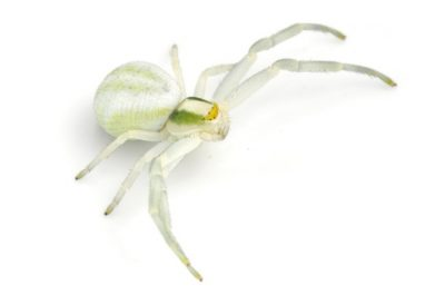 The Crab Spider is one of the common spiders found in Kentucky.