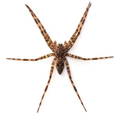 The Fishing Spider is one of the common spiders found in Kentucky.