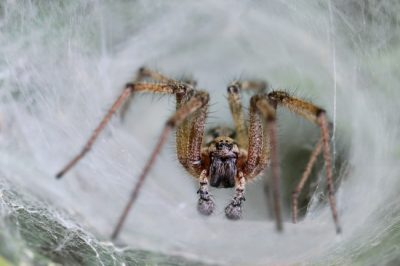 The Funnel Web Spider is one of the common spiders found in Kentucky.
