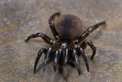 The Purse Spider is one of the common spiders found in Kentucky.