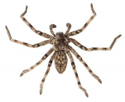 The Wolf Spider is one of the common spiders found in Kentucky.
