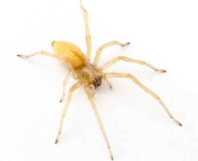 The Yellow Sac is one of the common spiders found in Kentucky.